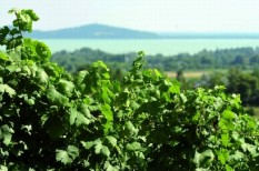 agrár, bor, istvándy, szőlészet, szőlő