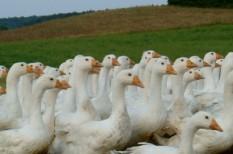 állatenyésztés, állattartás, állatvédelem, baromfi, brüsszel, európai parlament, mezőgazdaság, mezőgazdasági árak