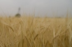 agrár, aratás, búzatermés, gabonatermesztés, mezőgazdaság, mezőgazdasági árak