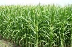 kukoricaárak, kukoricatermesztés, magyar agrárkamara