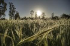 áfa, áfa-csalás, búza, búza-ocsú, fordított adózás, mezőgazdaság