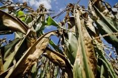 agrártámogatás, aszály, kukoricaárak, kukoricatermesztés, mezőgazdaság, veszteség