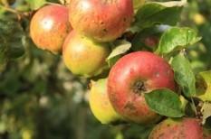 gyümölcstermesztés, mezőgazdaság, mezőgazdasági árak