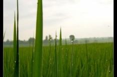 éhezés, fenntarthatóság, rizs