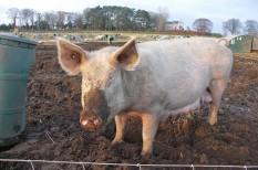 állattenyésztés, mezőgazdaság, sertésállomány
