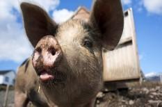 afrikai sertéspestis, állategészségügy, állattenyésztés, felelős állattartás, sertéspestis, sertéstartás