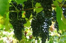 agrár, szőlő, támogatás