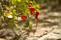 gyógynövény, mezőgazdaság, réspiac