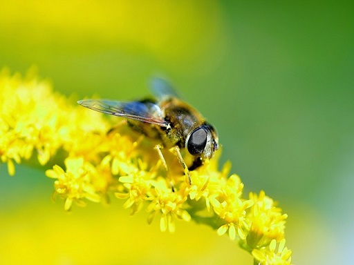 A méhek az élelmiszertermelés harmadához járulnak hozzá, nélkülük éheznénk - Kép: Pixabay