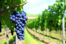 borászat, mezőgazdaság, növényvédelem
