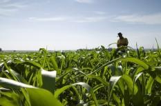 gabonatermesztés, klímaváltozás, kukorica, kukoricatermesztés, mezőgazdaság, szélsőséges időjárás