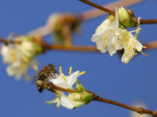 Nagykanizsán már virágzik a lonc - Kép: MTI