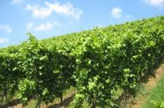 borászat, bortermelés, mezőgazdaság