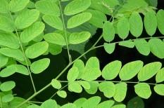 akác, hungarikum, környezetvédelem