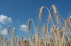gabonaárak, gabonapiac, mezőgazdaság