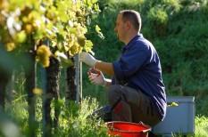 mezőgazdaság, pályázat, szőlőtermesztés, támogatás