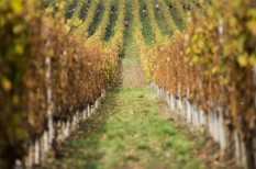 fagykár, szőlő, szőlőtermesztés