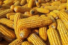 agrár, kukorica, kukoricatermés
