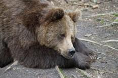 állatvédelem, környezetvédelem, medve, természetvédelem, wwf