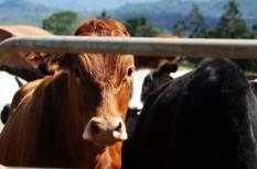 agrár, ausztrália, botrány, élelmiszerbiztonság, kína, milliárdos, tej