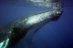 bálnavadászat, japán, környezetvédelem