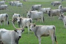 állami támogatás, állattenyésztés, kéknyelv, mezőgazdaság, szarvasmarha, védőoltás