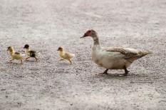 állategészségügy, állattenyésztés, madárinfluenza