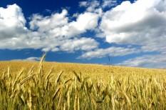 aszály, búza, élelmiszer, gabona, kína, mezőgazdaság, szárazság