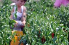 export, hungarikum, mezőgazdaság, növénytermesztés, paprika