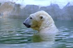 állatvédelem, emisszió, Északi-sark, jégolvadás, jégtakaró, klímaváltozás, veszélyeztetett faj