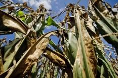 aszály, aszálykár, klímaváltozás, kukorica, kukoricatermesztés