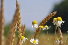 búza, étkezési búza, mezőgazdaság, növénytermesztés, tavaszi árpa, termény