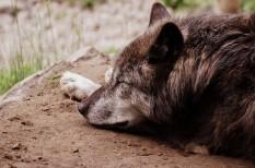 börzsöny, farkas, ragadozó, természetvédelem, veszélyeztetett faj