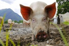 állat, betegség, egészségügy, hús, sertés