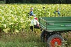 agrártámogatások, állami támogatások, dohánytermesztés, mezőgazdaság