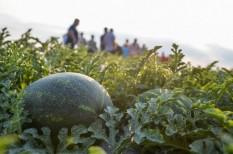 dinnye, dinnyeár, görögdinnye, nak, nemzeti agrárgazdasági kamara, termelők, tesco