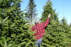 Drágább lesz idén a karácsonyfa – miért ne hagyjuk a vásárlást az utolsó pillanatra?