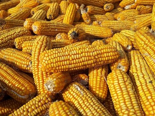 olcsóbb lesz a kukorica