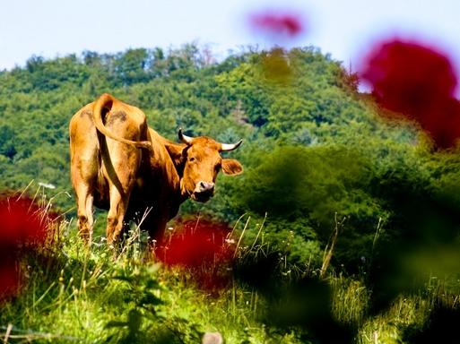 tehén a mezőben