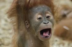 állat, eu, indonézia, Malajzia, orángután, őserdő, pálmaolaj, üzemanyag