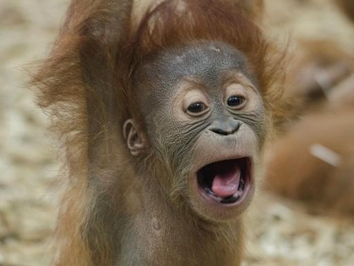 sikoltozó orangután bébi