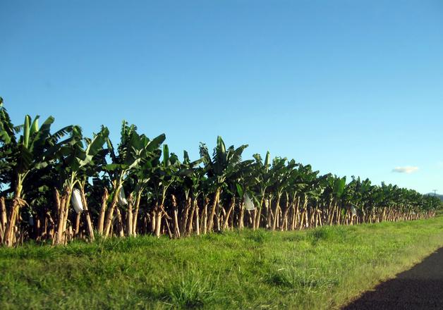 Banánültetvény (fotók: freeimages.com)