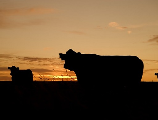 sokba vannak nekünk a tehenek