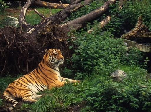 több a tigris