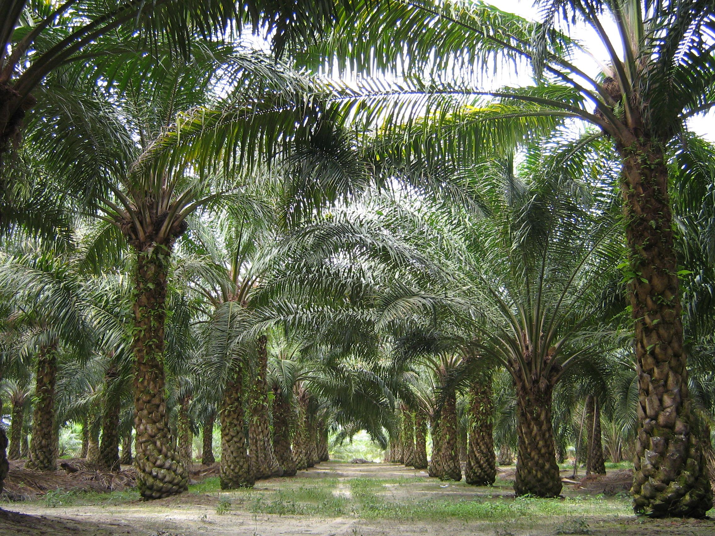 Ilyen ültetvényeket telepítenek az őserdők helyett. (kép: Wikipedia)