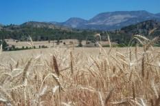 élelm, gabonapiac, globális felmelegedés, klímaváltozás, mezőgazdaság, növénytermesztés