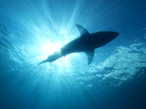 cápa úszik