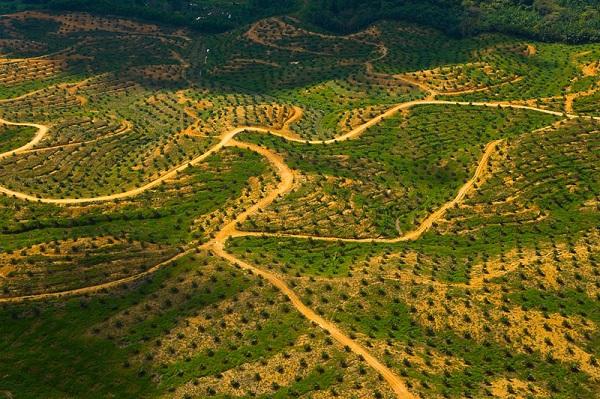 Ültetvénnyé válik az őserdő - Kép. WWF, Fotó: Juan Carlos Munoz