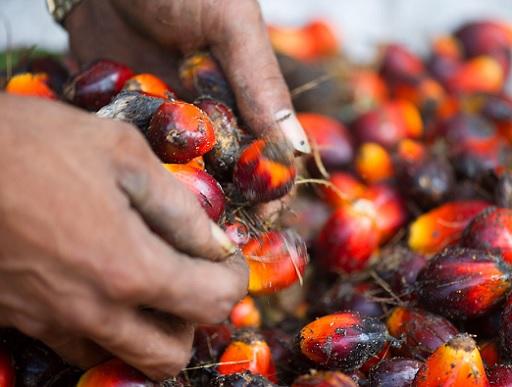 Ebből lesz a pálmaolaj. Kép:WWF/JamesMorgan