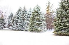 karácsonyfa, karácsonyi szezon